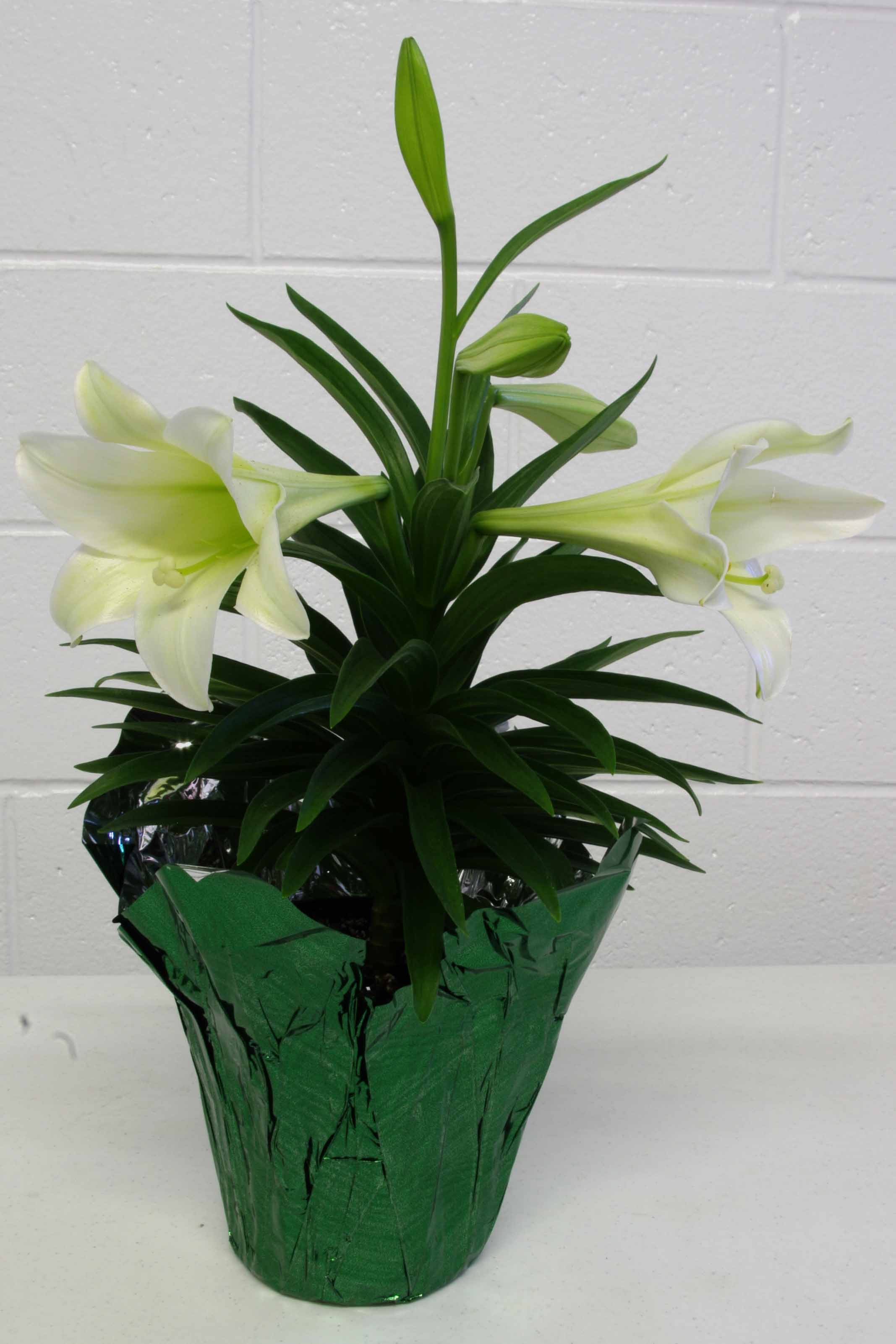 The traditional White Easter Lily