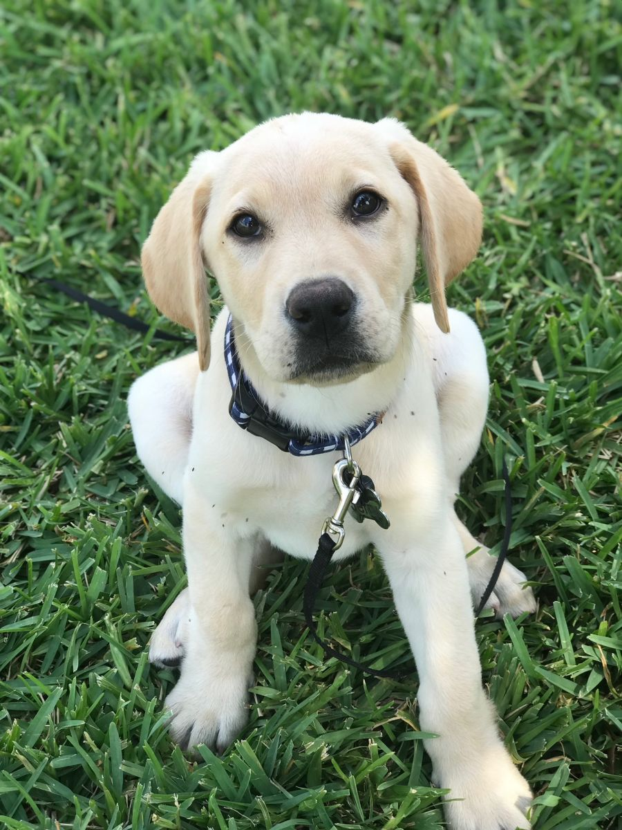 This is Jerry, our newest guide dog in training.