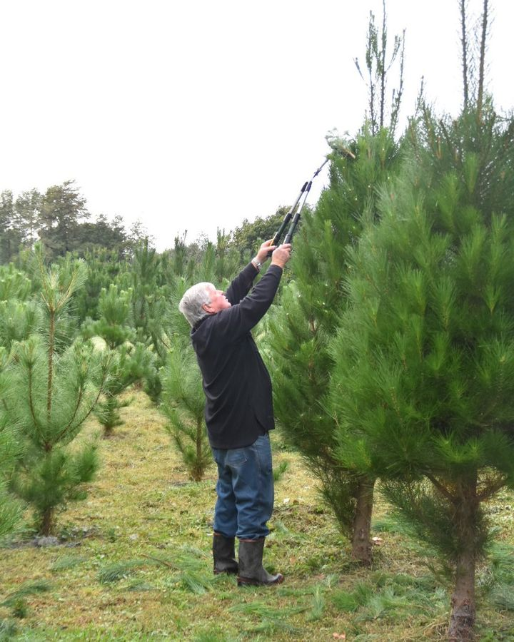 Christmas trees being pruned