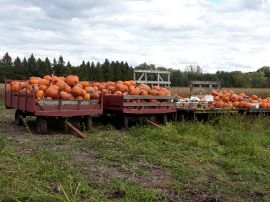 Pumpkins grown this summer and loaded six days prior to PunkinMania are underway to the annual event.